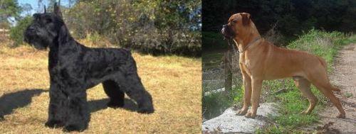 Giant Schnauzer vs Bullmastiff