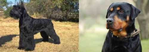 Giant Schnauzer vs Rottweiler