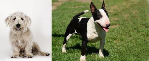 Glen of Imaal Terrier vs Bull Terrier Miniature
