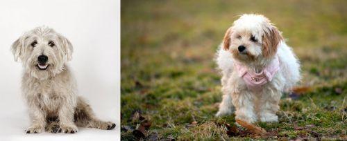 Glen of Imaal Terrier vs West Highland White Terrier