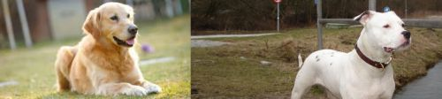 Goldador vs Antebellum Bulldog