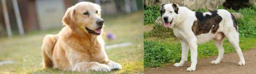 Goldador vs Central Asian Shepherd