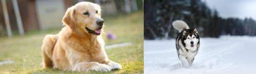 Goldador vs Siberian Husky