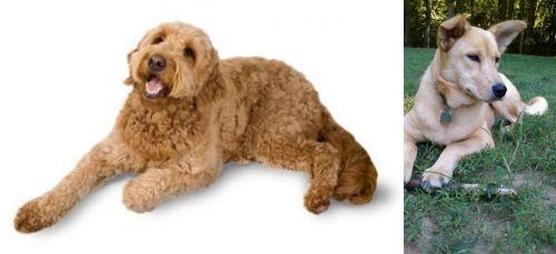 Golden Doodle vs Carolina Dog