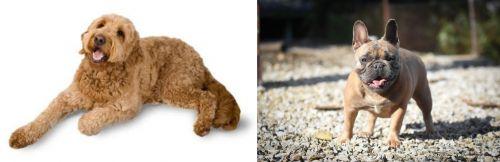 Golden Doodle vs French Bulldog