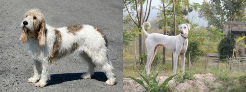 Grand Basset Griffon Vendeen vs Chippiparai