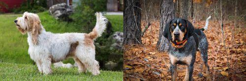 Grand Griffon Vendeen vs Bluetick Coonhound