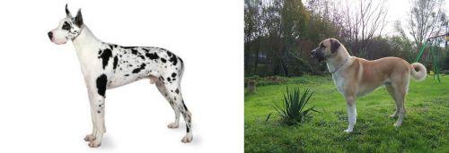 Great Dane vs Anatolian Shepherd