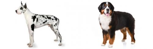 Great Dane vs Bernese Mountain Dog
