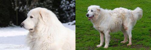 Great Pyrenees vs Abruzzenhund