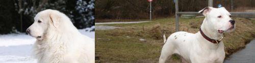 Great Pyrenees vs Antebellum Bulldog