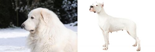 Great Pyrenees vs Argentine Dogo