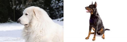 Great Pyrenees vs Beauceron