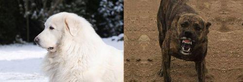 Great Pyrenees vs Dogo Sardesco