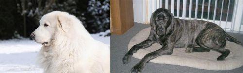 Great Pyrenees vs Giant Maso Mastiff