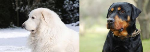 Great Pyrenees vs Rottweiler