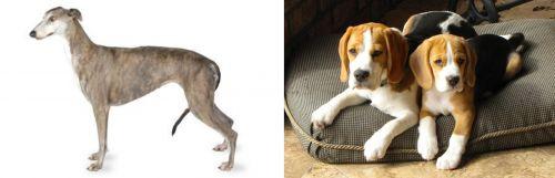 Greyhound vs Beagle