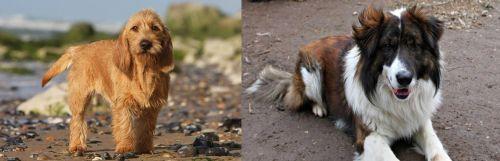 Griffon Fauve de Bretagne vs Aidi