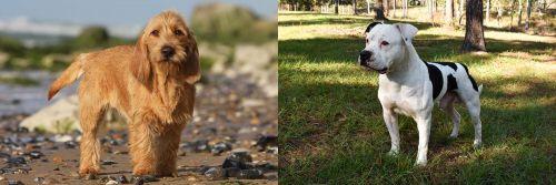 Griffon Fauve de Bretagne vs American Bulldog
