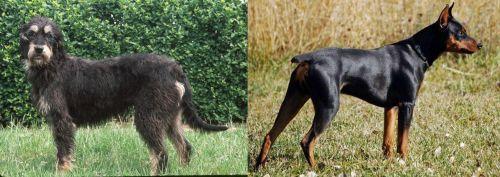 Griffon Nivernais vs German Pinscher
