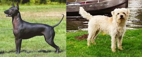 Hairless Khala vs Dutch Smoushond