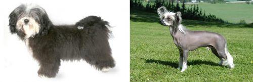 Havanese vs Chinese Crested Dog