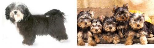 Havanese vs Yorkshire Terrier