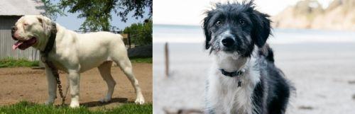 Hermes Bulldogge vs Bordoodle