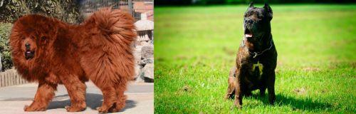 Himalayan Mastiff vs Bandog