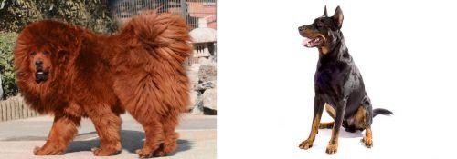 Himalayan Mastiff vs Beauceron