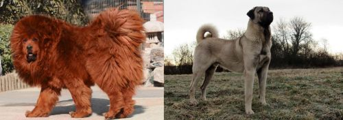 Himalayan Mastiff vs Kangal Dog