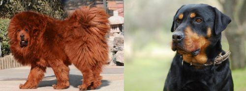 Himalayan Mastiff vs Rottweiler