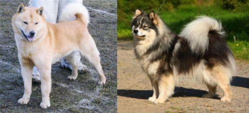 Hokkaido vs Finnish Lapphund
