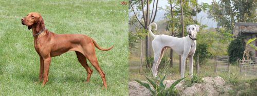 Hungarian Vizsla vs Chippiparai