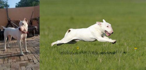 Indian Bull Terrier vs Bull Terrier