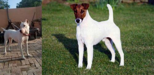 Indian Bull Terrier vs Fox Terrier (Smooth)