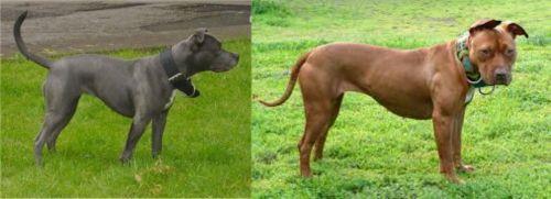 Irish Bull Terrier vs American Pit Bull Terrier