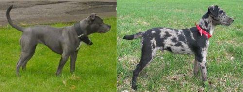 Irish Bull Terrier vs Atlas Terrier