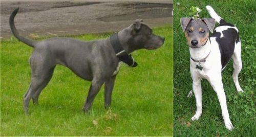 Irish Bull Terrier vs Brazilian Terrier