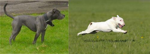 Irish Bull Terrier vs Bull Terrier