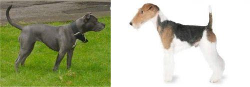 Irish Bull Terrier vs Fox Terrier