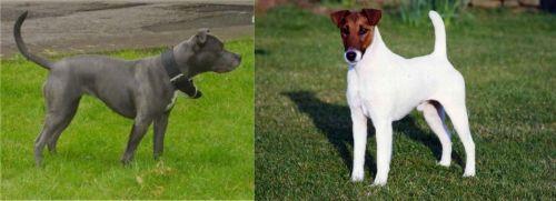 Irish Bull Terrier vs Fox Terrier (Smooth)