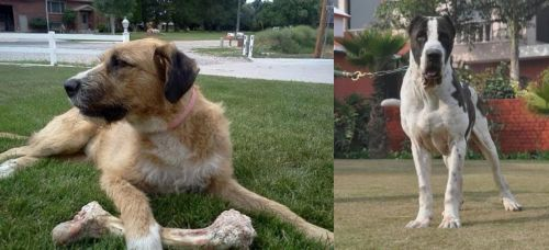 Irish Mastiff Hound vs Bully Kutta
