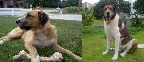 Irish Mastiff Hound vs Cao de Gado Transmontano