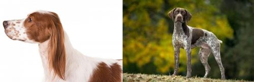 Irish Red and White Setter vs Braque Francais (Gascogne Type)