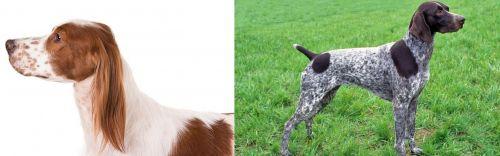 Irish Red and White Setter vs German Shorthaired Pointer
