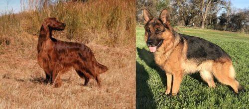 Irish Setter vs German Shepherd