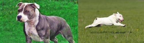 Irish Staffordshire Bull Terrier vs Bull Terrier