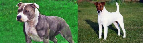 Irish Staffordshire Bull Terrier vs Fox Terrier (Smooth)