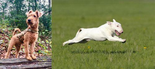 Irish Terrier vs Bull Terrier